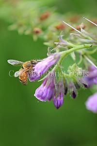 Honey Bee on Comfrey