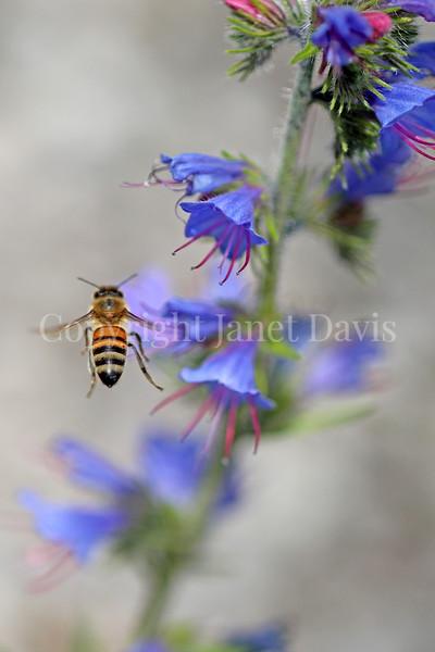 Honey Bee on Viper's Bugloss 2