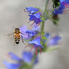 Honey Bee on Viper's Bugloss 2