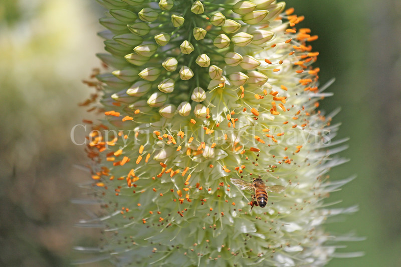 Honey Bee on Himalayan Foxtail Lily