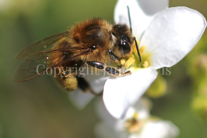 Honey Bee on White Rockcress or Arabis 1
