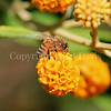 Honey Bee on Orange-Ball Buddleia 2