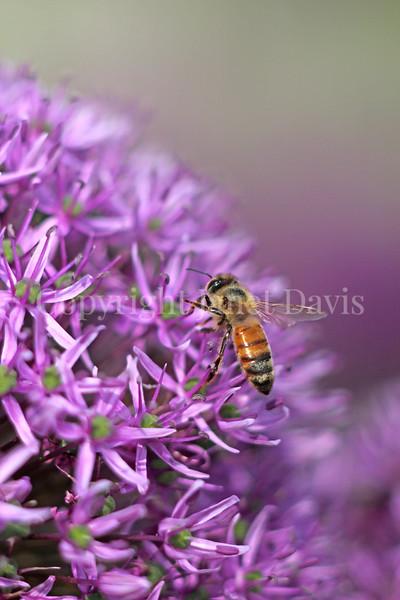 Honey Bee on Giant Allium