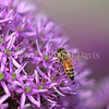 Honey Bee on Giant Allium