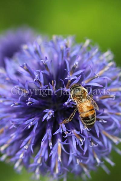 Honey Bee on 'Veitch's Blue' Globe Thistle 1