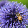 Honey Bee on 'Veitch's Blue' Globe Thistle 1