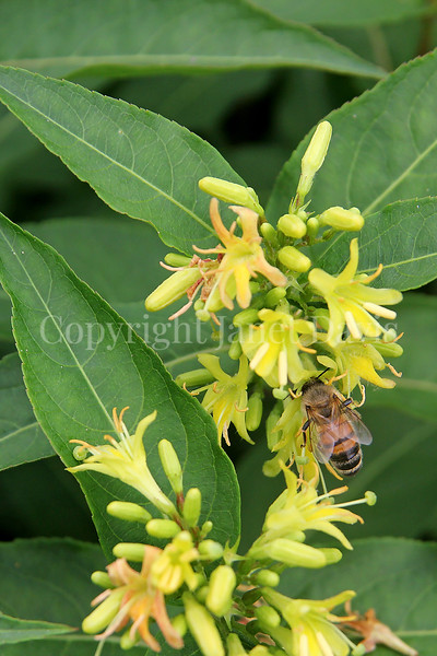 Honey Bee on Northern Bush Honeysuckle