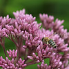 Honey Bee on Joe Pye Weed 1