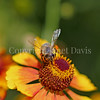 Honey Bee on Yellow Helenium 2