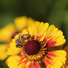 Honey Bee on Yellow Helenium 3