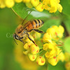 Honey Bee on Emerald Carousel Barberry