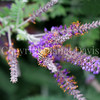 Honey Bee on Lead Plant