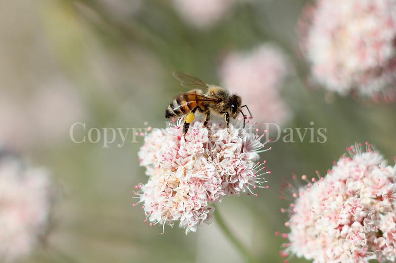 Honey Bee on Flat-Topped Buckwheat