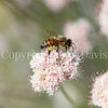Honey Bee on Flat-Topped Buckwheat