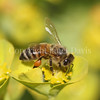 Honey Bee on Myrtle Spurge 2