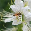 Honey Bee on Gas Plant 1