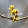 Honey Bee on Cornelian Cherry 2