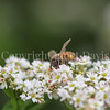 Honey Bee on Buckwheat 1