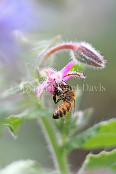 Honey Bee on Pink Borage