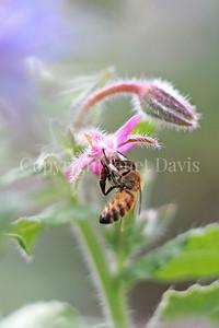 Honey Bee on Pink Borage