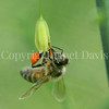 Honey Bee on Asparagus Flower 1