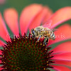 Honey Bee on Echinacea 'Firebird' 1