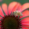 Honey Bee on Echinacea 'Firebird' 1