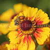 Honey Bee on Yellow Helenium 1