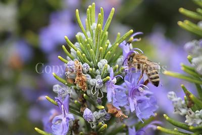 Honey Bee on Rosemary