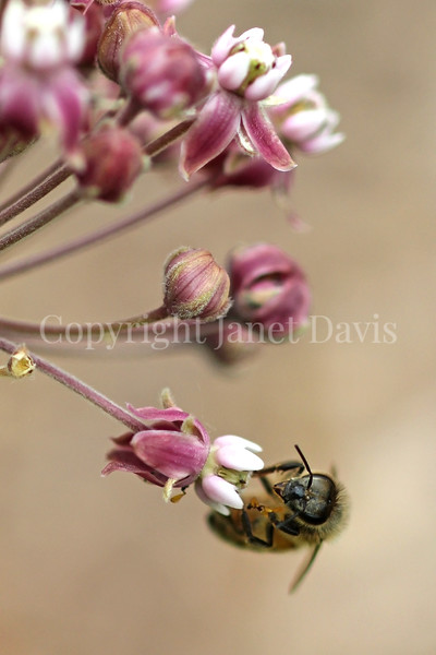 Honey Bee on Common Milkweed 4