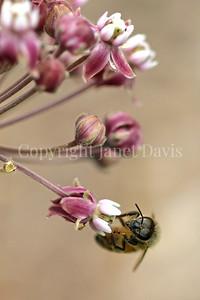 Honey Bee on Common Milkweed 4