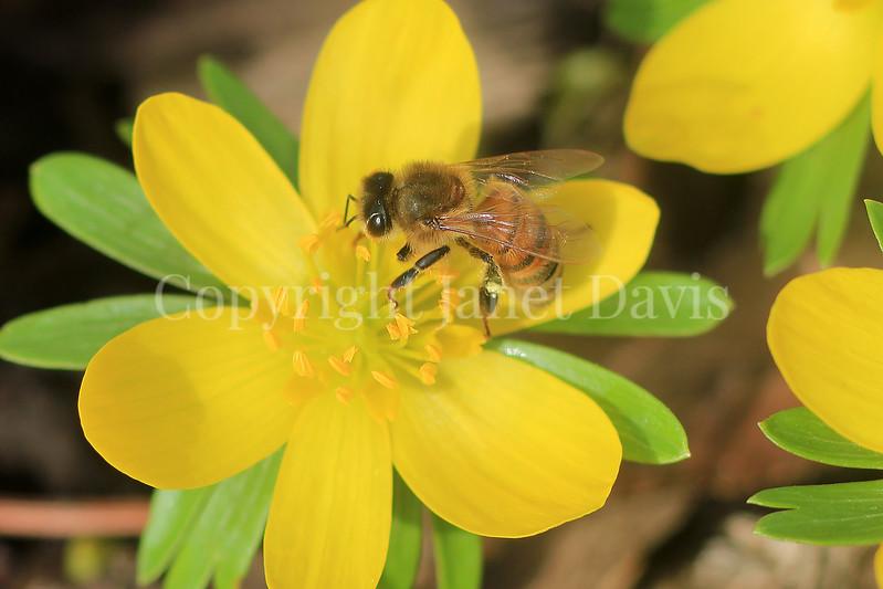 Honey Bee on Winter Aconite 2