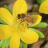 Honey Bee on Winter Aconite 2