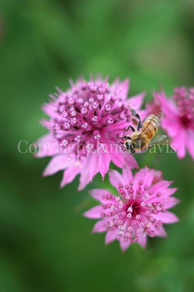 Honey Bee on Astrantia or Masterwort 2