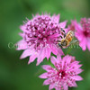 Honey Bee on Astrantia or Masterwort 2