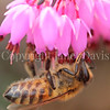 Honey Bee on Winter Heath 3