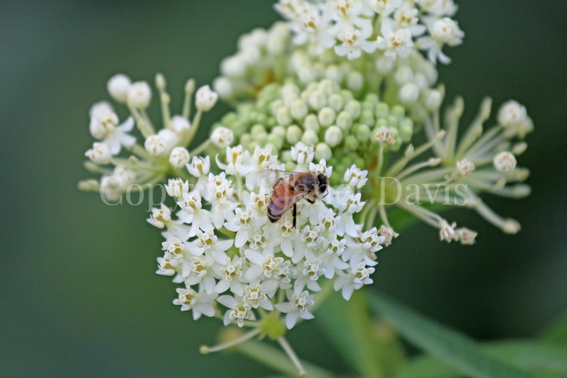 Honey Bee on 'Ice Ballet' Swamp Milkweed 2