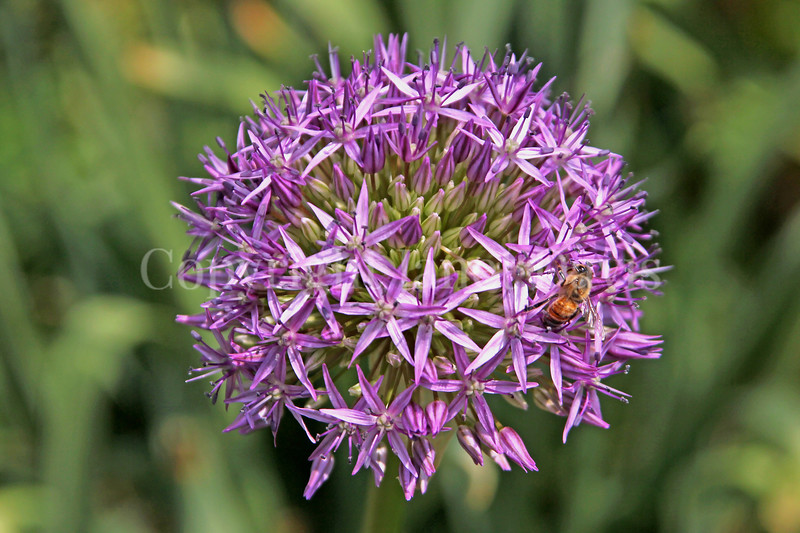 Honey Bee on Star-of-Persia Allium 1
