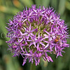 Honey Bee on Star-of-Persia Allium 1
