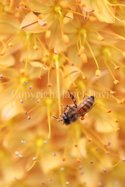 Honey Bee on Foxtail Lily or Eremurus 3