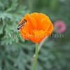 Honey Bee on California Poppy 2