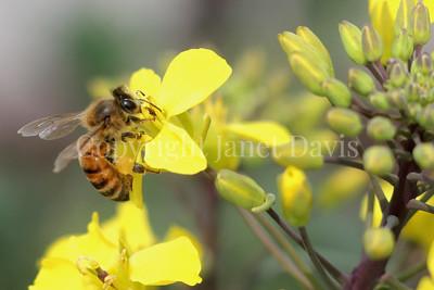 Honey Bee on Brassica Flower 1