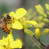 Honey Bee on Brassica Flower 1