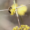Honey Bee on Cornelian Cherry 3