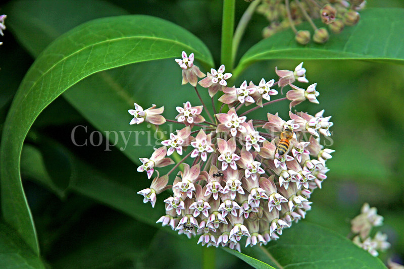 Honey Bee on Common Milkweed 1