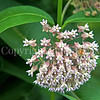 Honey Bee on Common Milkweed 1