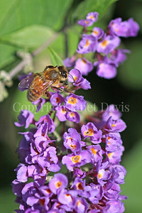 Honey Bee on Lo and Behold Butterfly Bush 2