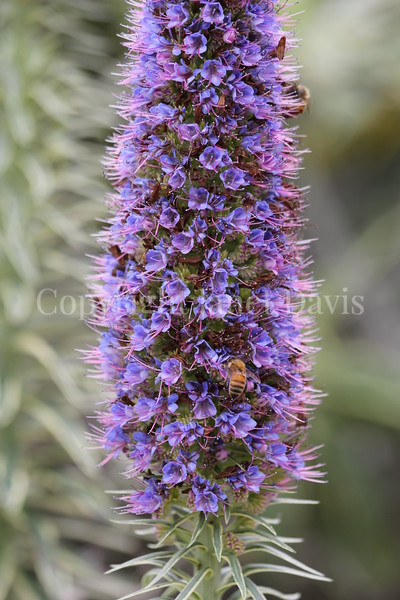 Honey Bee on Pride of Madeira 2