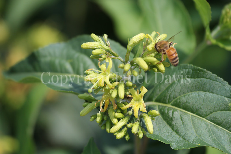 Honey Bee on Dwarf Bush Honeysuckle 1