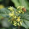 Honey Bee on Dwarf Bush Honeysuckle 1